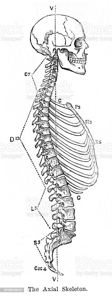 Ilustración de La Anatomía Del Esqueleto Axial Grabado 1878 y más ...