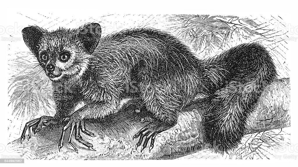 The Aye-aye, lemur or Daubentonia madagascariensis vector art illustration