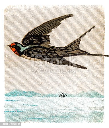 illustration of The barn swallow (Hirundo rustica)