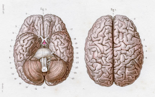 The Brain anatomy engraving 1886 A Text book of Naked Eye Anatomy hippocampus brain stock illustrations
