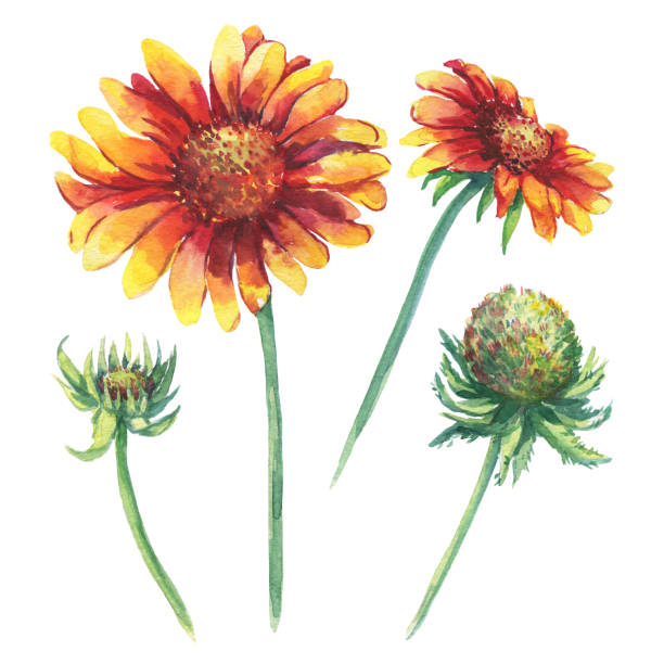91 Indian Blanket Flower Illustrations Clip Art Istock