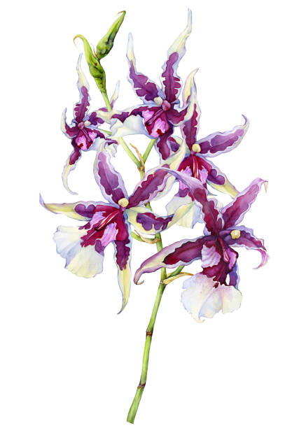 """the branch of blossoming tropical pink flower orchid aliceara (beallara) peggy ruth carpenter """"morning joy"""". hand drawn watercolor painting illustration isolated on a white background. - ruth stock illustrations"""