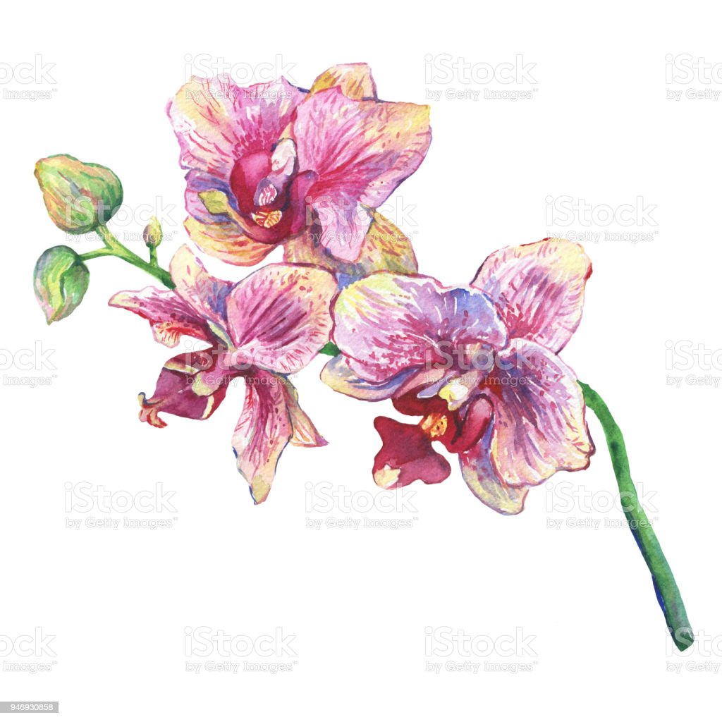 The Branch Of Blossoming Tropical Pink Flowers Orchids Closeup Hand