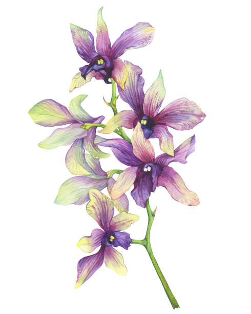 The branch of blossoming tropical purple flower orchid (Phalaenopsis orchid, Dendrobium). Floral art. Close up hybrid orchid. Hand drawn watercolor painting illustration on white background. The branch of blossoming tropical purple flower orchid (Phalaenopsis orchid, Dendrobium). Floral art. Close up hybrid orchid. Hand drawn watercolor painting illustration on white background. orchid stock illustrations