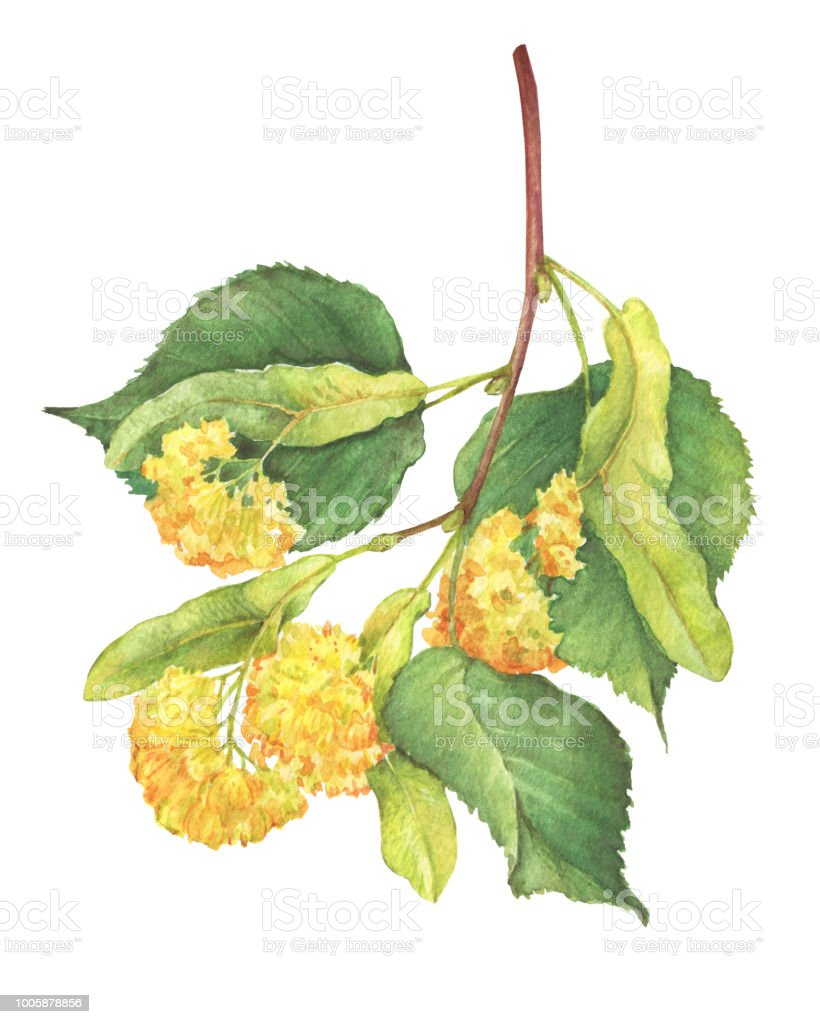 The Branch With Yellow Flowers Largeleaf Linden Medicinal Plant