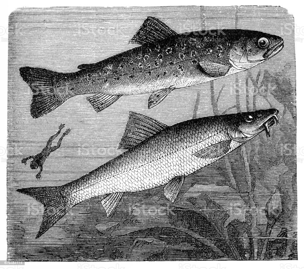 The brown trout (Salmo trutta) and Cyprinidae vector art illustration
