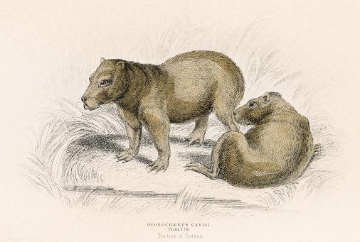 The Capybara engraving 1855