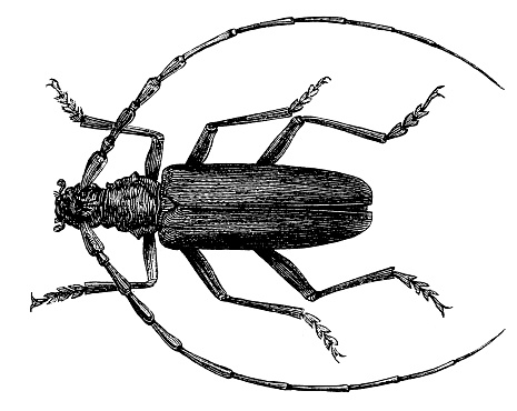 The Cerambyx cerdo, commonly known as great capricorn beetle