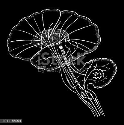 Illustration of a pathways in brain