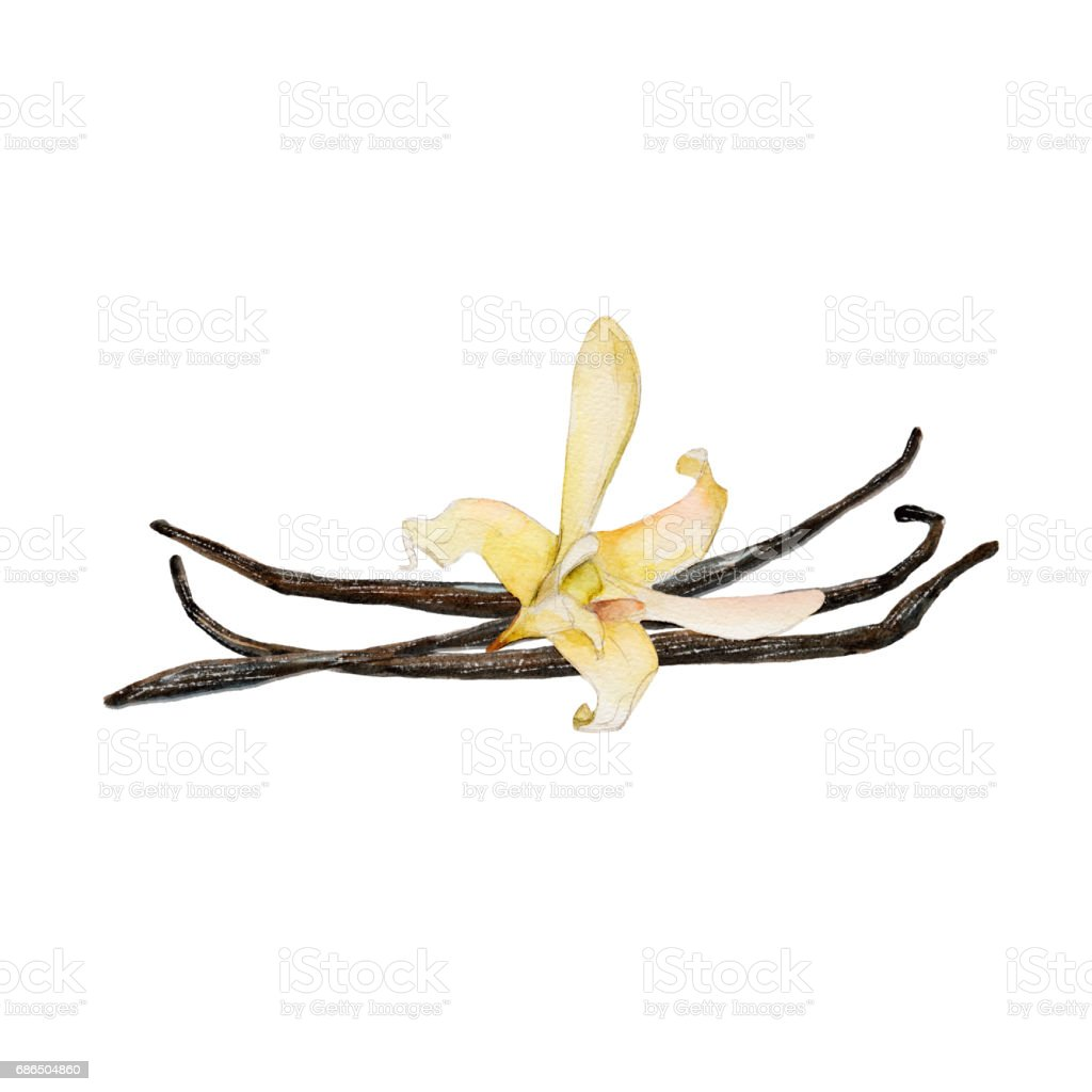 The closeup vanilla flower and beans isolated on white background, watercolor illustration in hand-drawn style. vector art illustration