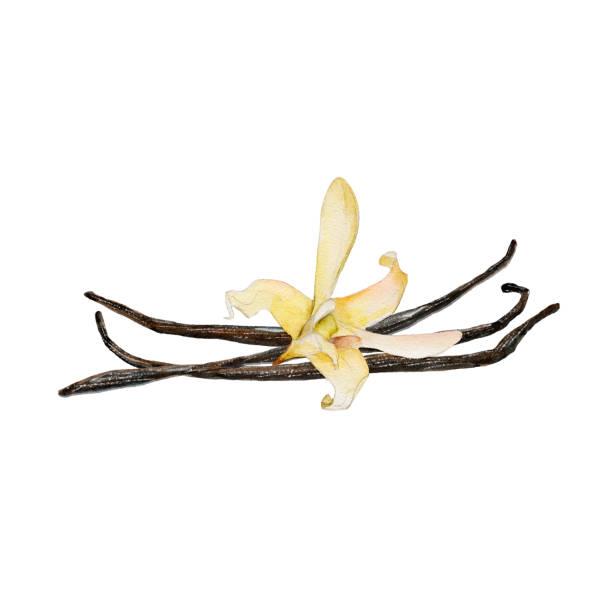 stockillustraties, clipart, cartoons en iconen met de close-up vanille bloem en bonen geïsoleerd op een witte achtergrond, aquarel illustratie in handgetekende stijl. - vanille