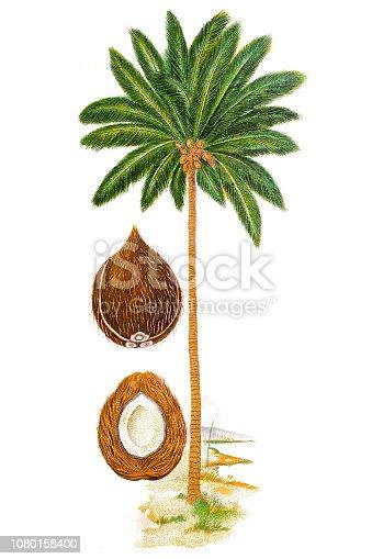 istock The coconut tree (Cocos nucifera) 1080158400