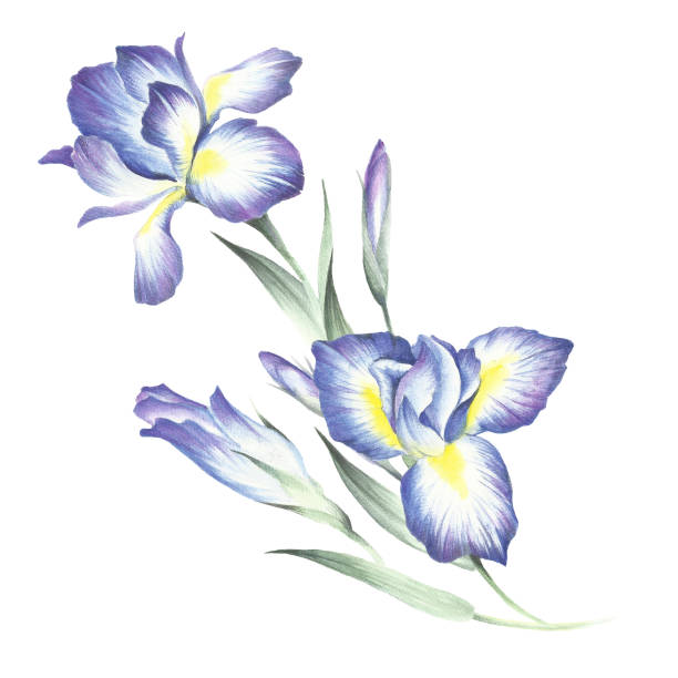 stockillustraties, clipart, cartoons en iconen met de samenstelling van irissen. hand tekenen aquarel illustratie - iris plant