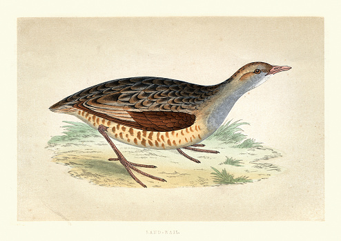 Vintage illustration of The corn crake, corncrake or landrail (Crex crex) a bird in the rail family. A History of British Birds, Morris