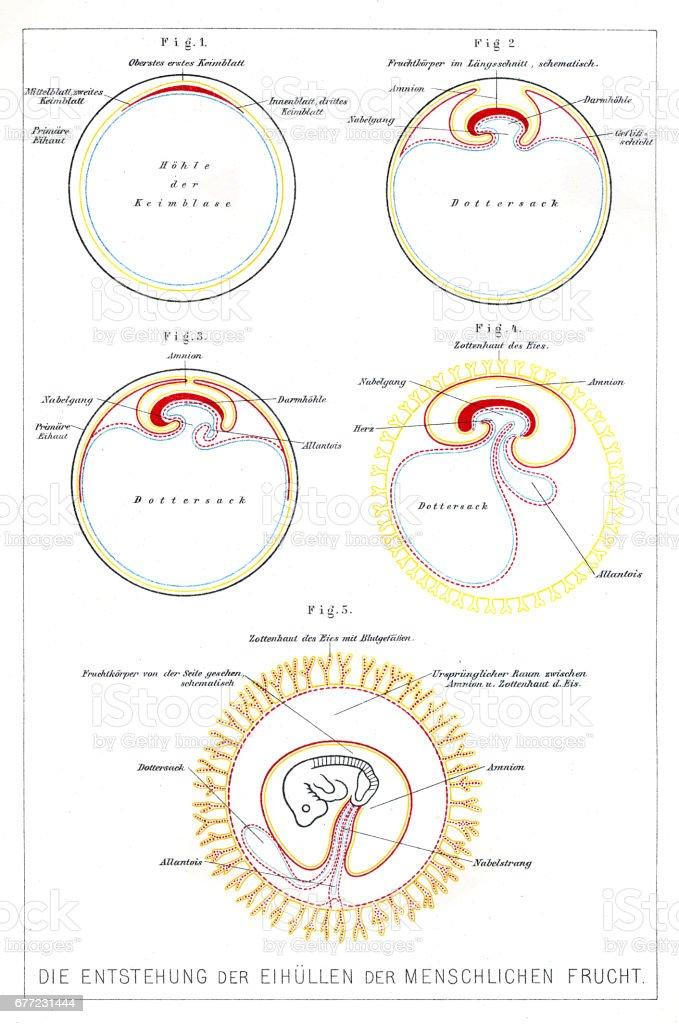 El Desarrollo De La Anatomía De Los Seres Humanos Grabado De 1857 ...