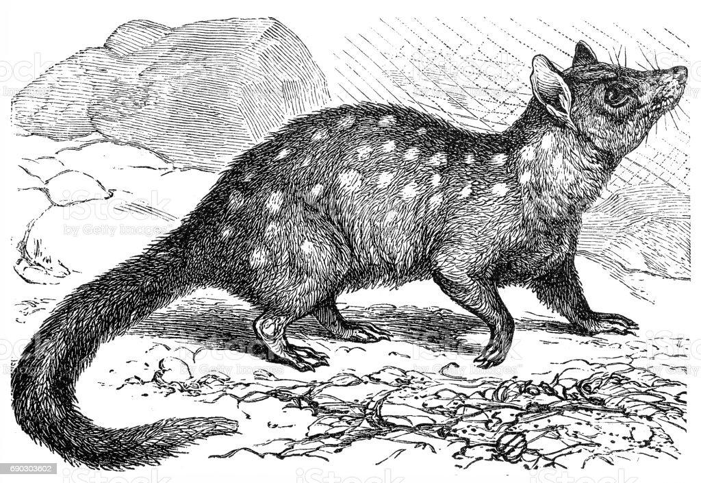 The eastern quoll (Dasyurus viverrinus) vector art illustration