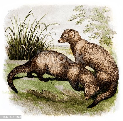 Illustration of a The Egyptian mongoose (Herpestes ichneumon), also known as the ichneumon