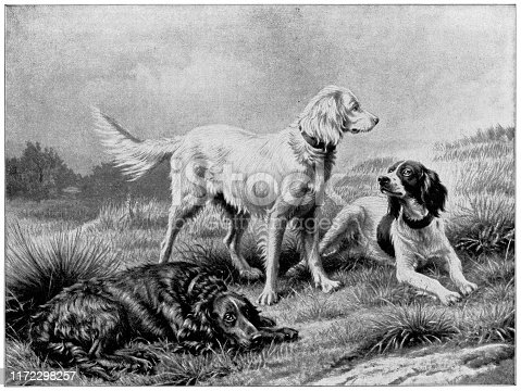 The English Setter by Johannes Christian Deiker (circa 19th century). Vintage etching circa late 19th century.