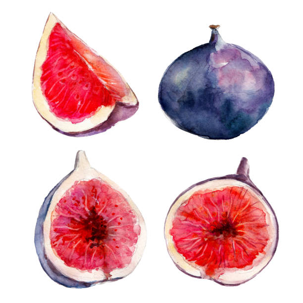 The fig fruit set isolated on white background, watercolor hand drawn illustration. The fig fruit set isolated on white background, watercolor hand drawn illustration. fig stock illustrations