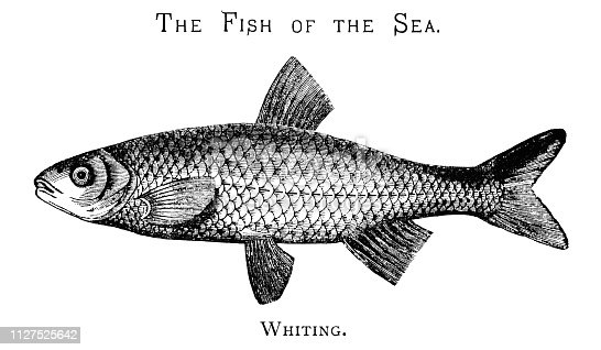 """Side view of a whiting, a saltwater fish. From """"The Juvenile Instructor: Vol XLII-Vol XII New Series"""" published by JC Watts in London, 1891."""
