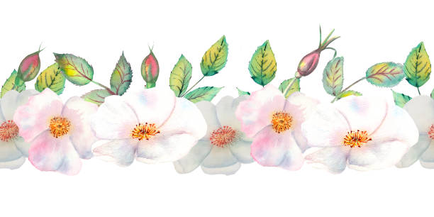 The flowers and leaves of wild rose. Repetition of summer horizontal border. Floral watercolor illustration. Compositions for greeting cards or invitations The flowers and leaves of wild rose. Repetition of summer horizontal border. Floral watercolor illustration. Compositions for greeting cards or invitations. wild rose stock illustrations