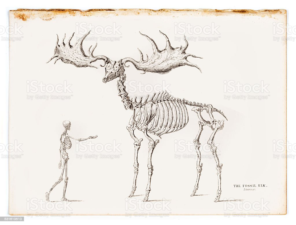 The fossil elk engraving 1855 vector art illustration