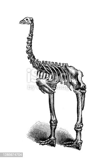 istock The giant moa (Dinornis) is an extinct genus of ratite birds belonging to the moa family 1285674704