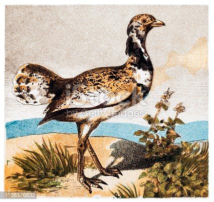 Illustration of The great bustard (Otis tarda) is a bird in the bustard family, the only member of the genus Otis