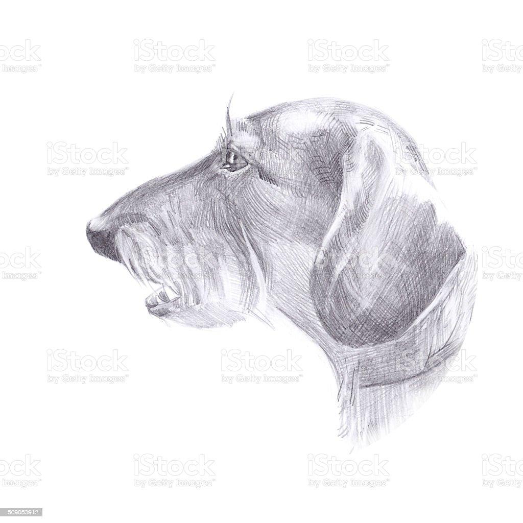 Ilustración De La Cabeza De Perro Perro Salchicha De Pelodibujo
