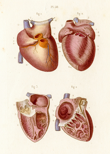 The heart anatomy engraving 1886