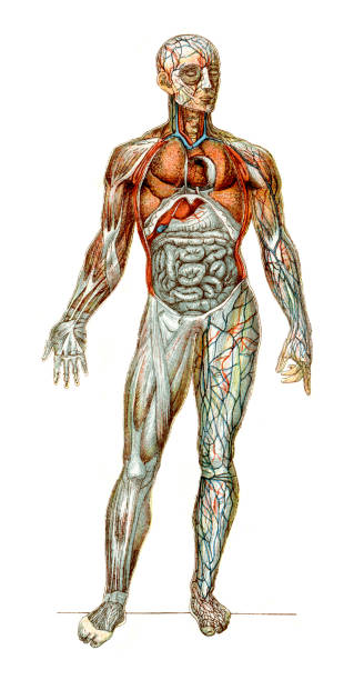The Human Body Vintage colour lithograph of the human body, with the anterior walls of the chest and abdomen removed, in the left arm and leg the superficial veins are seen; in the right arm and leg the dissection has been carried further so as to expose the muscles. medical diagram stock illustrations