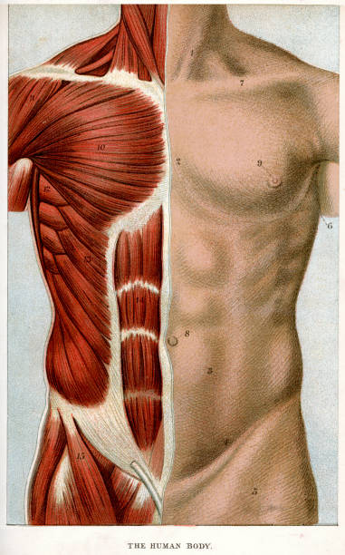 The Human Body Vintage colour lithograph of the human body chest torso stock illustrations
