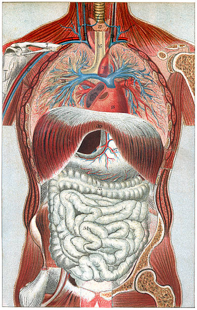 The Human Body Vintage colour lithograph of the human body medical diagram stock illustrations