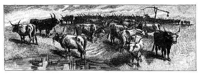 Illustration of The Hungarian gray cattle is one of the legally protected domestic animals native to Hungary