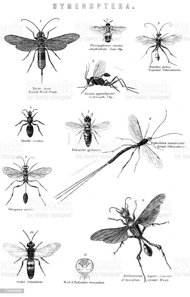 The Hymenoptera order of Insects vector art illustration