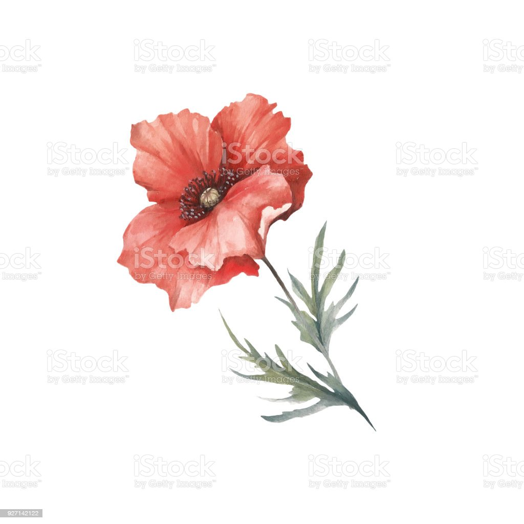 The Image Of A Poppy Hand Draw Watercolor Illustration Stock Vector