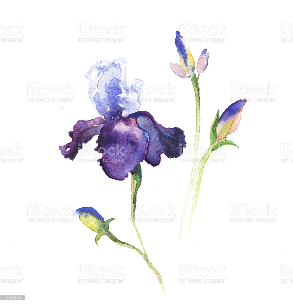 the iris flowers watercolor isolated vector art illustration