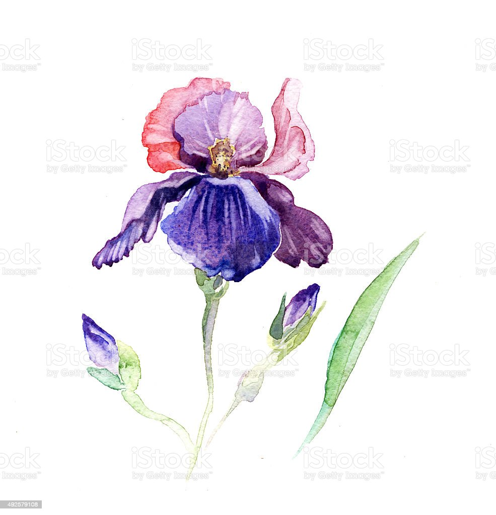 The iris flowers watercolor isolated on the white stock vector art the iris flowers watercolor isolated on the white royalty free the iris flowers watercolor isolated izmirmasajfo