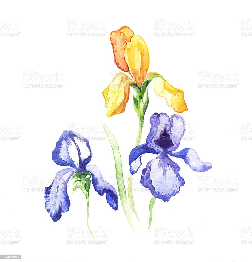 The iris flowers watercolor isolated on the white stock vector art the iris flowers watercolor isolated on the white royalty free stock vector art izmirmasajfo Choice Image
