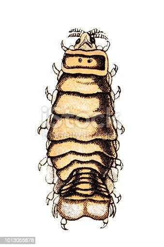 Illustration of the isopod (Cymothoa exigua, tongue-eating louse)
