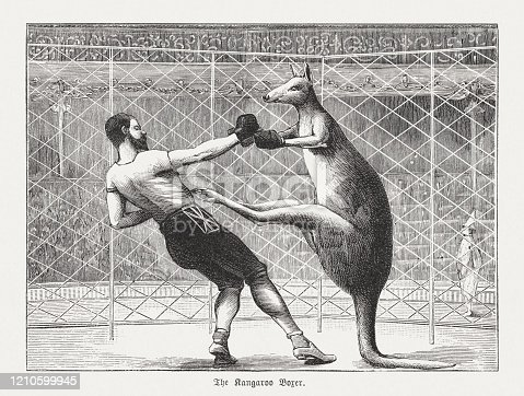 istock The kangaroo boxer, wood engraving, published in 1895 1210599945