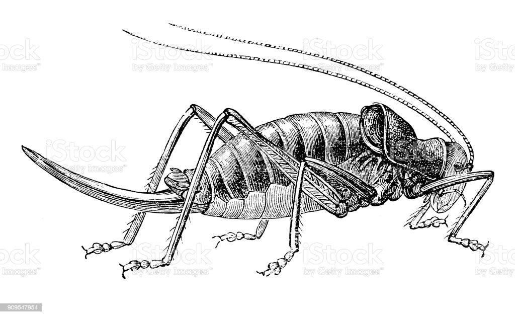 The Locust (locusta cucullata) vector art illustration
