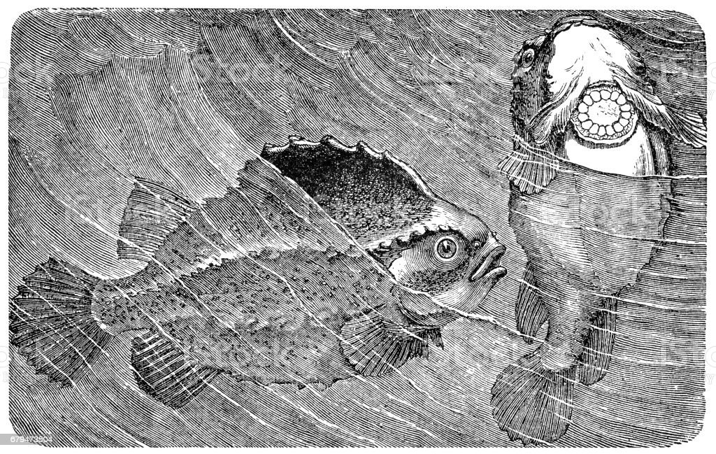 The lumpsucker or lumpfish (Cyclopterus lumpus) 免版稅 the lumpsucker or lumpfish 向量插圖及更多  棘魚 圖片