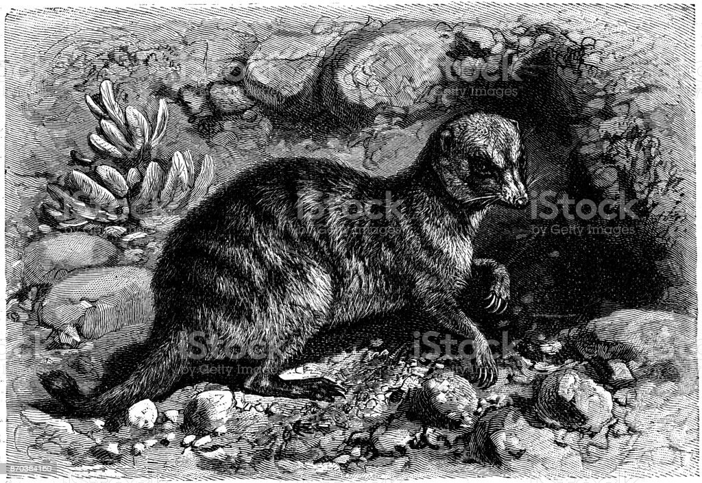 The meerkat or suricate (Suricata suricatta) vector art illustration