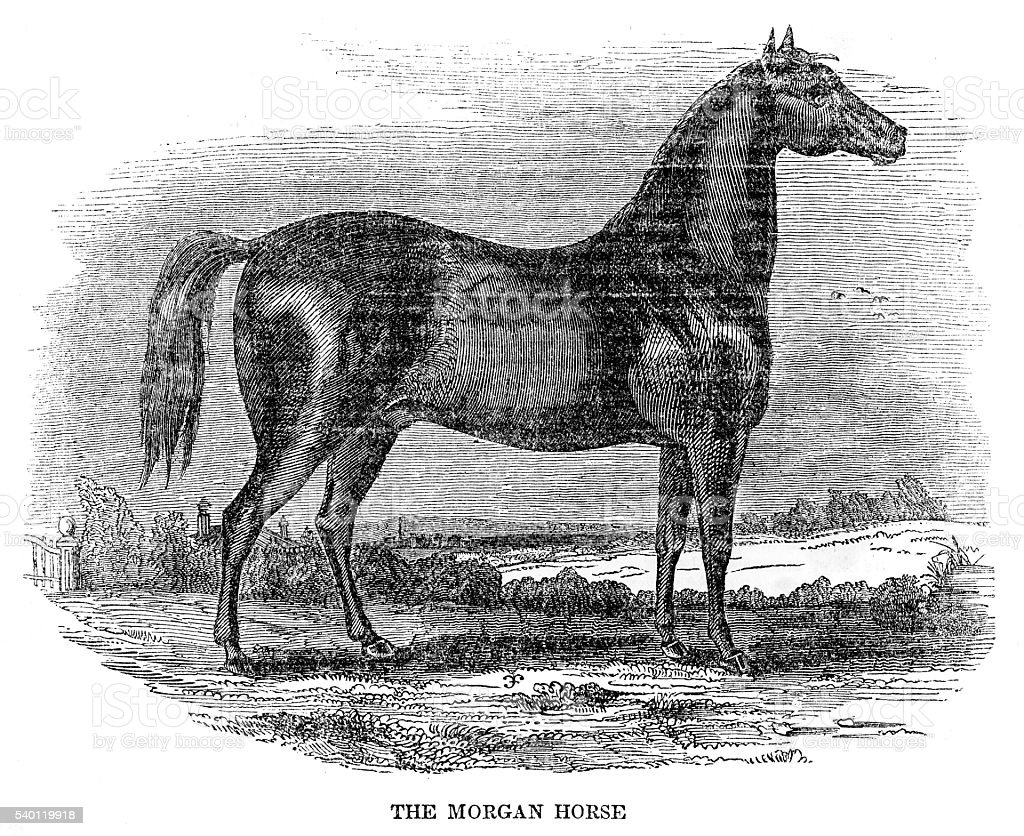 The Morgan horse 1841 The Morgan horse 1841 Competition stock illustration
