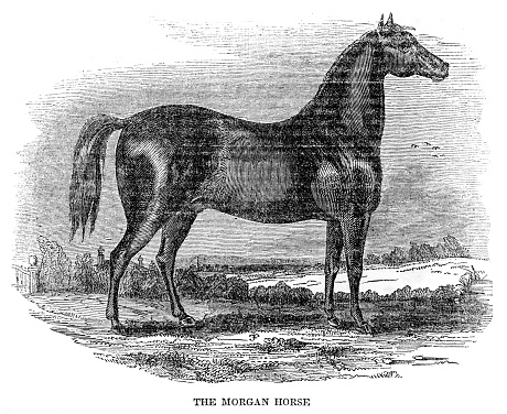The Morgan Horse 1841 Stock Illustration - Download Image Now
