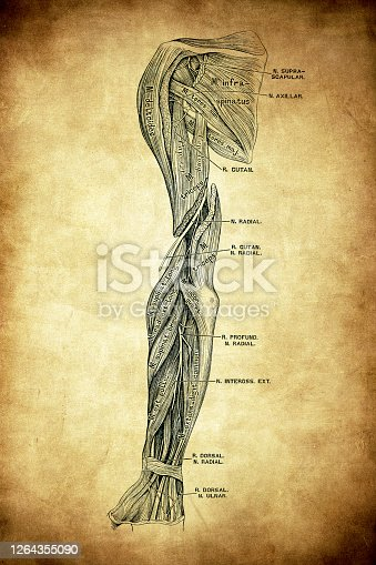 Illustration of The nerves on the extensor side of the upper extremity