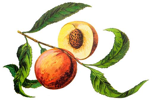 The peach (Prunus persica)
