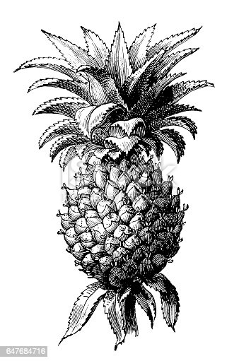 illustration of a pineapple (Ananas comosus)
