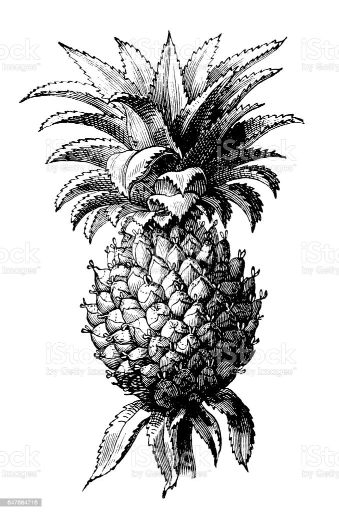 The pineapple (Ananas comosus) vector art illustration